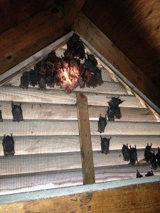 bat-removal-gable