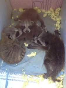 raccoon-pups